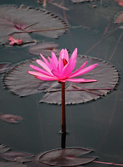 Pink Bystander (awktography) Tags: plant plants lotus flower flowers beautiful nature natural wildlife pink color colors petals garden park environment tropical malaysia lake