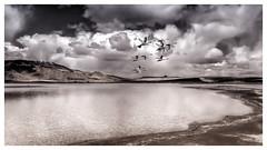 Swans Leaving (Johnrw1491) Tags: avian fine art swans flight tundra swan lakes clouds landscapes marsh mountains wildlife nature notes habitat monochromatic toning comositing