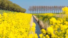 Voorjaar op Goeree (robvanderwaal) Tags: spring netherlands voorjaar flower boom nederland bloemen trees robvanderwaalphotographycom 2017 ditch tree goereeoverflakkee rvdwaal sloot polder bomen goeree