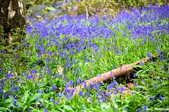 Blue Bells (M!G Photography) Tags: blue forest bluebelss flower macro cloup colourful lush landscape