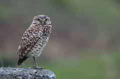 Burrowing Owl-5904 (Geoffrey Shuen Photography) Tags: burrowingowl owl