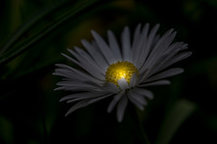 Daisy Lamp (lichtspur) Tags: daisy lamp background dark isolated light structures detailes vanishing colour flower nature postprocessing art artificial kunst anders licht gänseblümchen hintergrund weiss gelb blüte
