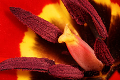 Red (aleadam) Tags: flower macro stamen pistil petal red yellow close detail polen