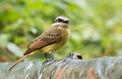 IMG_7895  Golden-crowned Flycatcher (ashahmtl) Tags: goldencrownedflycatcher bird flycatcher songbird myiodynasteschrysocephalus bellavista nanegalito pichinchaprovince ecuador
