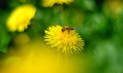 Dandelion (evibaumann) Tags: dandelion butterblume natur blume wiese fujfilm biene bee helios402