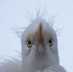Eyeballed!! (SDRPhoto321 Back from the field) Tags: juvenilegreategret greategret florida egret white eyes young inspire exposure