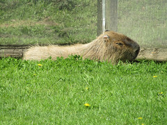 Capybara, Yorkshire Wildlife Park 2017 (Dave_Johnson) Tags: yorkshirewildlifepark ywp wildlifepark park zoo animal animals southyorkshire yorkshire capybara