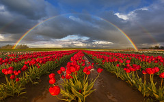 Rainbow over the Tulip Field (Woodburn, OR) (Sveta Imnadze) Tags: landscape tulips fowers countryside woodburn or