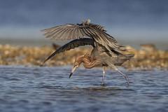 Dance of the Reddish 2... (DTT67) Tags: reddishegret egret birds wader nature wildlife florida southwestfla sanibel dingdarling canon 1dxmkii 500mm 2xtciii hunting fishing water