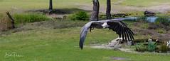 IMG_1793 (Bert Portael) Tags: vulture bird wildlife beeksebergen animals wilde dieren