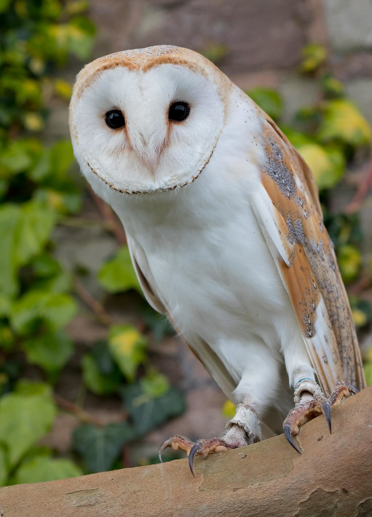 barn owl research papers