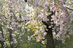 weeping cherry tree. (cate♪) Tags: sakura weepingcherryblossoms light bokeh swing pink flowers tokyo 石神井公園