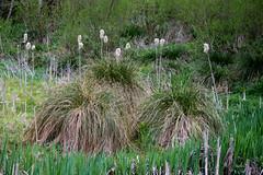 Typha & Tussocks  [Explore] (Philip McErlean) Tags: greater tussock sedge reedmace bulrush seed seedhead fluffy cotton wetland lagan meadows carex paniculata typha latifolia