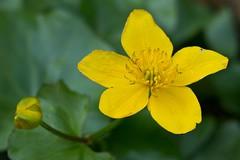 IMG_4006 (Lightcatcher66) Tags: florafauna makros blütenundpflanzen lightcatcher66