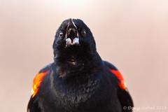 Angry Bird (Doug Scobel) Tags: kensington blackbird redwinged metropark agelaius phoeniceus