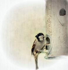 panasonic sparrow birdfeeders clanflickr ipiccytexture