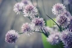 Allium schoenoprasum (*BLULU) Tags: