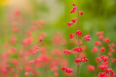 Colors of spring (nagy.gabor.zsolt) Tags: flower lilac virág orgona