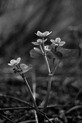Caltha palustris (TMax90) Tags: bw white black flower trix 400tx 400 marsh marigold caltha kingcup palustris
