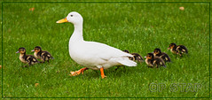 Op stap (Jan 1147) Tags: animals walking duck belgium ngc npc dieren eend opstap depinte
