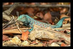 Aruban Whiptail Lizard (Patti-Jo) Tags: blue wild male reptile turquoise aruba lizard spots whiptail arubensis cnemidophorus aruban
