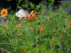 Flowered Hat (nikla) Tags: orange nature fleurs jardin vert vietnam hanoi nord halong