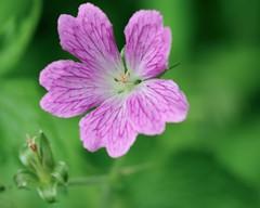 _IAW2830 (IanAWood) Tags: manualfocus hertfordshire rickmansworth d300 flowermacros flowercloseups flowersofspring walkingwithmynikon nikkormicropce85mmf28d