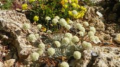 Eriogonum ovalifolium var. nivale & Eriogonum umbellatum var. porteri 100_0935 (sierrarainshadow) Tags: eriogonum umbellatum var ovalifolium nivale porteri
