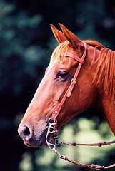 Red (traceyjohns) Tags: horse cowboy australia rodeo