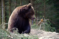 Barnamedve a Krptokban (kgyd) Tags: barna medve krptalja krptok barnamedve szinevr