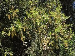 Stein-Eiche im Torrent de Na Borges, Mallorca, NGIDn1335867347 (naturgucker.de) Tags: quercusilex steineiche naturguckerde cwolfgangkatz 1038097865 409271081 1039742319 ngidn1335867347