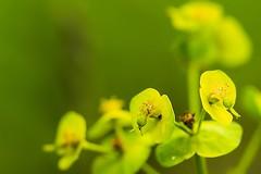 Blüten (thomaskappel) Tags: blten