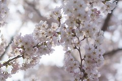 On the Vine (jasohill) Tags: pink flowers tree japan season cherry landscape spring blossoms iwate   tohoku 2014 warmcolor