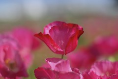Poppy #7 (joka2000) Tags: pink blue red sky flower macro green dof petal poppy icelandpoppy