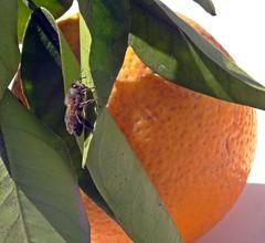Pissed Bee (Bricheno) Tags: espaa orange holiday insect spain espanha mediterranean wasp bee espana mallorca spanien spagna spanje majorca baleares soller portdesoller  espanya  balearics hiszpania sller portdesller   bricheno
