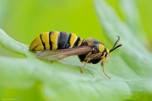 Sesia apiformis