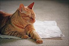 Cats Love Paper (K. Sawyer Photography) Tags: cat paper sleep sleepy