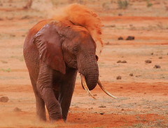 Red rain! (Rainbirder) Tags: kenya ngc npc tsavo tsavoeast loxodontaafricana africanbushelephant rainbirder
