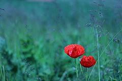Red & blues (Elisa Nathalie) Tags: blue red summer field bokeh poppies tamron