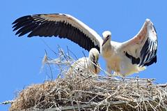 Yes... we can (fly) (Yako36) Tags: bird portugal ave birdwatching peniche nikonafs300f4 atouguiadabaleia nikond7000