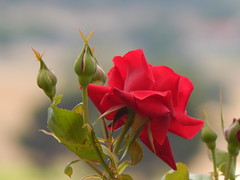 Summer dream (lanoo_gr) Tags: flowers red roses summer nature garden dream