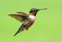 It's Not Polite To Stick Out Your Tongue (Diane Marshman) Tags: red summer brown black male green bird nature birds animals dark neck flying back wings long hummingbird pennsylvania g wildlife tail small flight beak feathers pa upper h only ruby throat northeast hg in throated