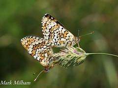 Glanville Fritillaries. (Mark Milham.) Tags: canon butterfly isleofwight mating rare fritillary iow milham sigma50500 glanvillefritillary glanvillefritillaries fritillarybutterfly