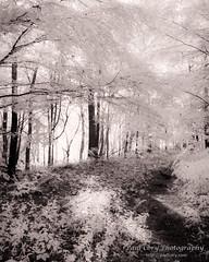 Forest Trail IR (Paul Cory) Tags: camera blackandwhite tree forest season spring afternoon unitedstates northcarolina infrared jordanlake postprocessing canoncamera timeofday naturalfeature whiteoakcreek niksoftware geocity camera:make=canon exif:make=canon coppertoning geostate geocountrys exif:lens=61305mm camera:model=canonpowershotg10 exif:model=canonpowershotg10 exif:aperture=56 silverefexpro2 exif:isospeed=100 exif:focallength=61mm canonpowershotg10ir