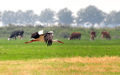 Flying cow? (powerfocusfotografie) Tags: bird netherlands stork vogel henk ooievaar nikond90 powerfocusfotografie