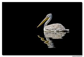 Pélican blanc - Pelecanus onocrotalus - Parc de Sainte Croix