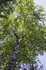 Birch Toward the Sky (awaketoadream) Tags: summer white ontario canada tree june canon eos foliage bark trunk gorge birch elora betula 2014 60d
