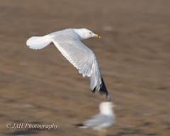 You're It! (jah32) Tags: seagulls lake beach nikon lakeerie seagull flight greatlakes beaches atthebeach seabirds portburwell thegreatlakes d7000