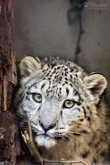young snow leopard (Cloudtail the Snow Leopard) Tags: zoo wilhelma stuttgart tier animal säugetier mammal katze cat big gros raub schnee leopard panthera uncia snow irbis cloudtailthesnowleopard