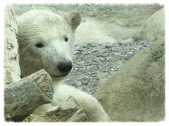 "Baby Eisbr ""Lale"" (v8dub) Tags: bear baby white nature animal germany deutschland zoo am meer natur bio arctic polar tierpark weiss allemagne blanc bb bremerhaven tier br ours eisbr polaire niedersachsen lale biodiversit"